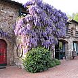 Wisteria on owner's residence - Antico Borgo di Sugame