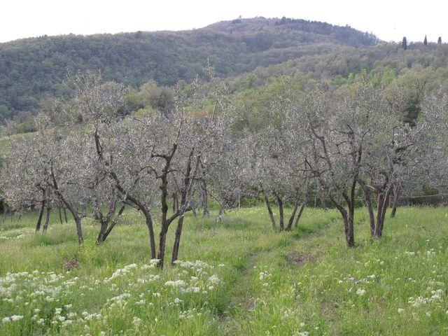 Olive Grove @ Antico Borgo di Sugame