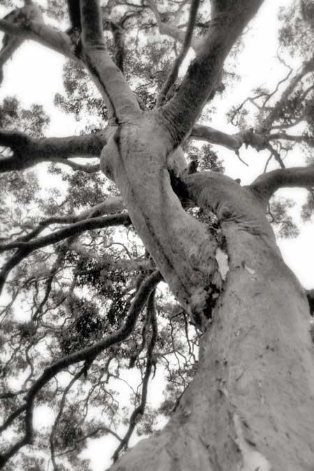 Twisted_tree